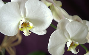 Orchid flowers over purple background